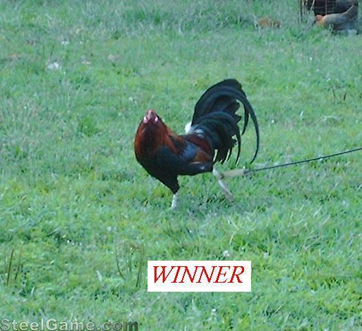 winning RH cock in 6 cock derby..