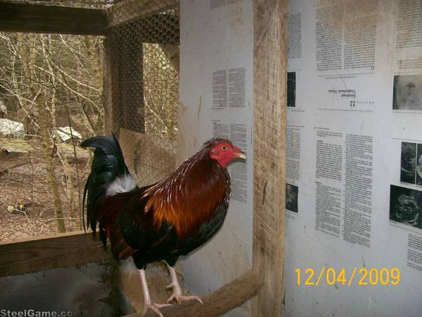 toppie cock