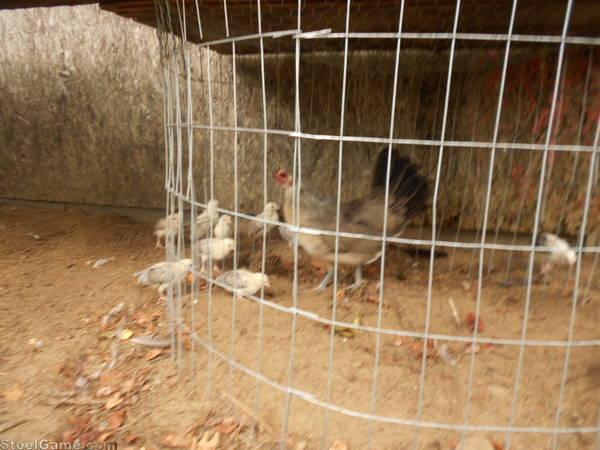 my son's grey hen and biddies