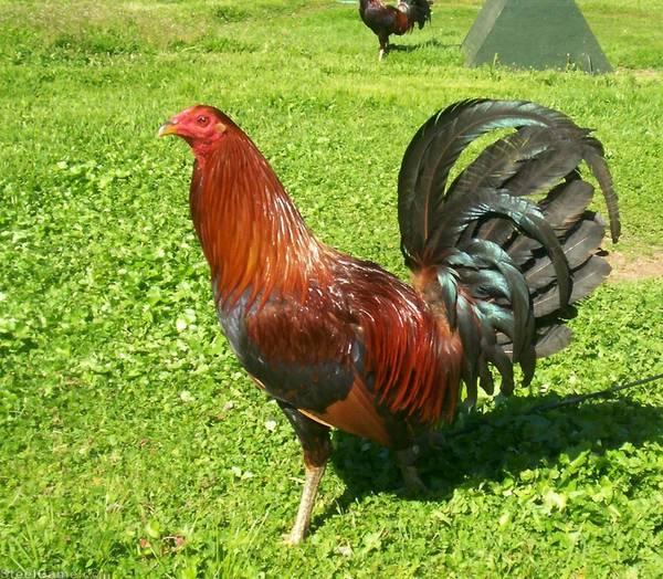 Hatch-Chet Cock