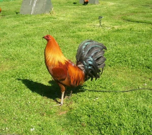 Hatch-Chet Cock #2