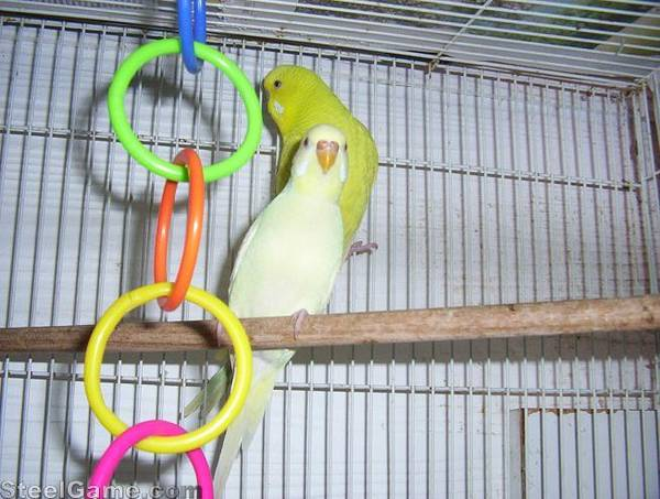 budgie_breeding_pair_lutino_and_yellow