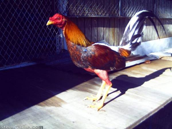 Blue battle Cock