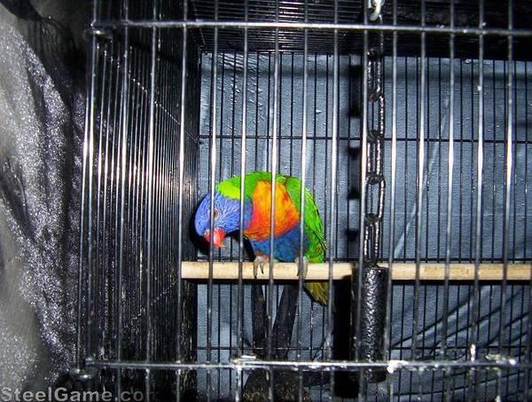 Peppi rainbow lorrikeet