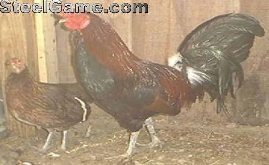 Rooster Gaffs for Sale http://www.steelgame.net/gallery/showphoto.php/photo/1125