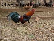 Harold Brown Hatch