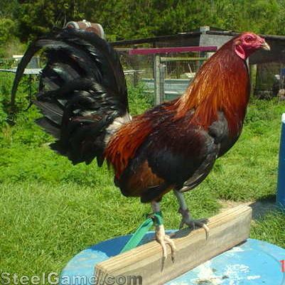 Brunner Cock 15