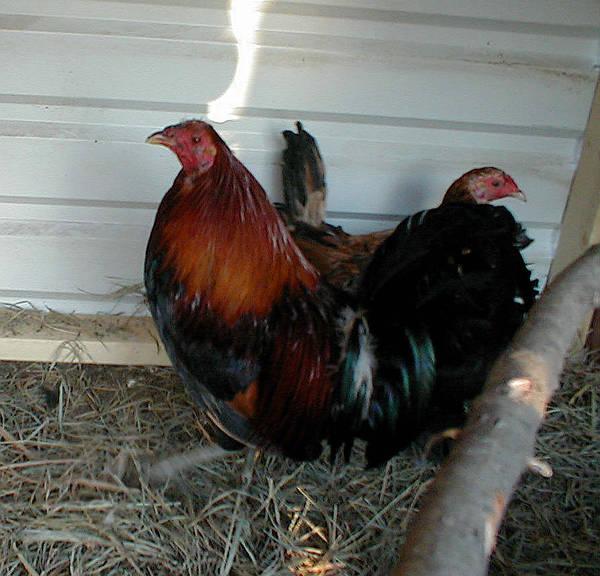 jummper brood cock with a hen